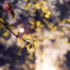 Sparkling leaves (c_c_clason) Tags: leica leaves spring sweden stockholm bokeh summicron m8 40mm summicronc leicam8