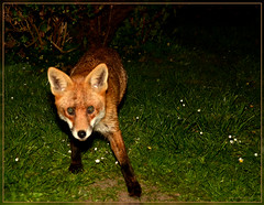 Good Evening Mrs Fox (bobspicturebox) Tags: flowers wild dog sun cup robin evening buttercup tea song sparrow tulip garlic mustard foxes flytipping creeping thrush ramson cuckooflower afternnoon soapwort vixon jackinthehedge