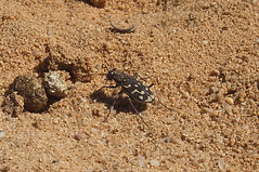 "Cicindela Flexuosa • <a style=""font-size:0.8em;"" href=""http://www.flickr.com/photos/15452905@N02/8913893627/"" target=""_blank"">View on Flickr</a>"