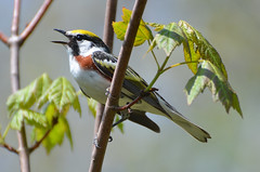 Chestnut-Sided Warbler (PeterBrannon) Tags: canada nature novascotia singing song wildlife warbler warblers chestnutsidedwarbler setophagapensylvanica lewislakeprovincialpark