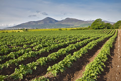 Mourne Made Potatoes (Alan10eden) Tags: plants mountains green leaves canon newcastle potatoes farm sigma spray growth rows crop northernireland growing farmer 1770 blight mourne drills countydown arable tillage 60d haulms destoned