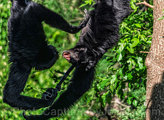 Siamang Fighting As They Swing (PhotoCapturesbyJeffery) Tags: black cute nature face animal mouth fur outdoors zoo monkey furry tn nashville expression tennessee teeth thoughtful expressive hanging swinging captive creature primate primitive vocal hominid animalprints siamang biped nashvillezooatgrassmere natureprints pentaxk5 primateprints