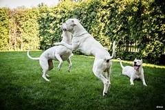 (Katarina Drezga) Tags: pets dogs nikon perros dogphotography petphotography dogoargentino nikond3100