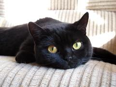 169/365 - 18/06/2013 (oana-emilia) Tags: cat blackcat kitten kitty luna britishshorthair day169 pisicuta picica day169365 3652013 365the2013edition 18jun13