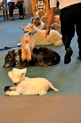 DSC_0263 (vweida) Tags: pets dogs pittsburgh therapy therapydogs kctclub