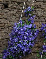 Tihanyi hangulat/Flowers in Tihany (HorányiMari /away for awhile/) Tags: blue plant flower flora hungary hiking clematis stonewall tihany alittlebeauty futónövény