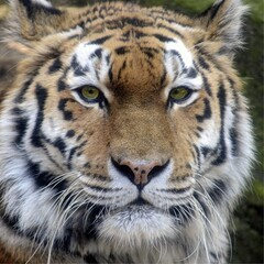 Portrait of a siberian tiger (Rene Mensen) Tags: portrait up animal nikon close tiger siberian portret tijger preditor siberisch d5100