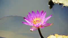 Water lily (ddsnet) Tags: plant flower waterlily sony hsinchu taiwan   aquaticplants    nex     sinpu hsinpu  lily water  mirrorless     nymphaeatetragona    nymphaea plants newemountexperience nex7 aquatic nymphaea tetragona tetragona