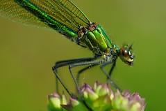 Calopteryx female smale (jd.echenard) Tags: demoiselle damselfly insecte libellule odonates damselflysmale calopteryxfemale calopteryxfemelle sourirededemoiselle