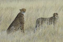 Ever Alert (Duncan Blackburn) Tags: nature mammal nikon wildlife ngc npc cheetah namibia etosha coth supershot coth5 5wonderwall sunrays5
