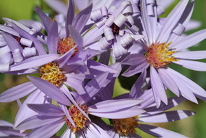 Photo - Smooth Aster