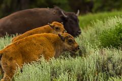 Babes in Buffalo Land (ken.krach (kjkmep)) Tags: buffalo grandtetonnationalpark