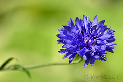 Cornflower Blue. (Stephen Whittaker) Tags: nikon d5100 whitto27