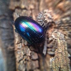 Rainbow Beetle (binjy) Tags: insect rainbow beetle australia binjy iphonemacro