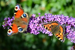Peacock & Small Tortoishell Butterflies (Seventh Heaven Photography) Tags: small tortoishell butterfly aglais urticae purple buddleia blooms flowers summer garden shropshire england britain peacock inachis io butterflygallery butterflycolor butterflybeauty butterflies5aday catchycolors nikond3200 nature wildlife papillon