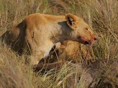 Not spaghetti again! (Rainbirder) Tags: kenya maasaimara pantheraleo rainbirder