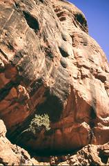 sprout (α RAINYNEPTUNUS ω) Tags: arizona tree film nature analog sand sandstone desert sedona cliffs redrock analogphotography filmphotography desertfauna desertlife
