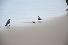 (Sofia Righi) Tags: ocean trip travel blue sea food india beach beauty birds nikon asia mare north traveller uccelli viaggio spiaggia sunnyday oceano lightblue corvo cocco d90 corvi viaggiare nikond90 nikonprofessional indiadelnord