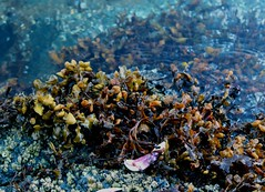 Seaweed (Hunter!!!!) Tags: ocean sea canada seaweed beach nature water outdoors coast muscle britishcolumbia wildlife crab sealife calm sechelt sunshinecoast barnacle malaspina smugglerscove georgiastrait