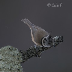 Crested Tit, (Lophophanes cristatus ) (Col-Page) Tags: