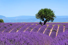 Lavender field. The plateau of Valensole in Provence (Twin Work & Volunteer) Tags: blue light summer plant france flower tree beautiful beauty field lines square french landscape outdoors countryside colorful purple scenic magenta violet lavender nobody rows fragrant provence picturesque lavande abundance herbal scent azur fragrance aroma blooming scented aromatherapy alpesdehauteprovence valensole provencealpescote lavendin sunnylandscape bloomingflowerazursquarefrancenobodysunnylandscape