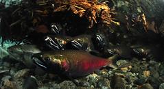 The Bat Cave (Fish as art) Tags: ecology conservation explore streams creeks alaskasalmon saumon fisheries cohosalmon salmonrivers salmonids canadianfishes underwaterphotographypaulvecsei alaskanfishes