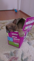 choc brown blue lilac burmese kittens images IMAG1205_BURST002_COVER (Burmese Natmac Cats) Tags: pictures cats photos nt images adelaide northern burmese act territory natmac