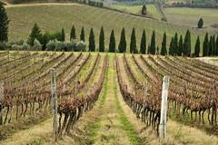 Vigna in Chianti (luporosso) Tags: naturaleza nature nikon wine natura tuscany toscana uva pino vino vigneto naturalmente vigna abeti nikond300s