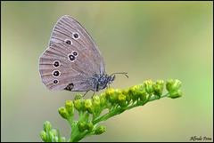 Aphantopus hyperantus (alfvet) Tags: macro nikon estate butterflies natura insetti valsesia farfalle sigma150 veterinarifotografi d5100