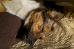 DSC04683 (pmavrop) Tags: sleeping dog pet animal relaxing calm sleepy moment earthycolors warmplace sonyrx1 pmavrop