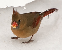 Cardinal with corn kernel (tommaync) Tags: red brown white snow bird eye feet ice nature female nc corn nikon cardinal beak northcarolina february kernel 2014 chathamcounty d40