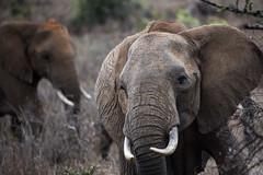 ELE-1178 (jeromestarkey) Tags: wild animal kenya safari endangered wilderness habitat arrica mugie ekorian