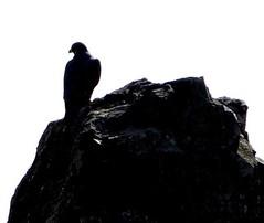 Lone Hawk (1Flatworld) Tags: bird hawk wildlife pch fowl