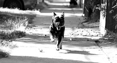 Jacko (Marco Leave) Tags: chile santiago dog white black leave blanco photography sony negro perro marco fotografia alpha jacko aldea ilce a3000