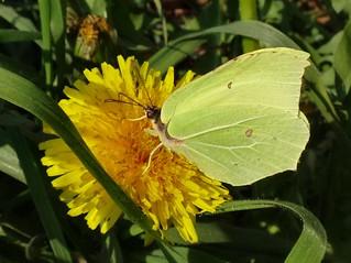 Tonguing Yellow. Gonepteryx rhamni, Common Brimstone, on Dandelion, Taraxacum officinale, Venlo, The Netherlands