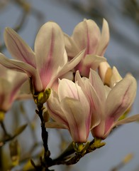 Magnolia Colours(explored) (Adam Swaine) Tags: county uk pink flowers trees england macro english nature beautiful canon photography flora britain 2014 naturelovers naturesfinest swaine explored thisphotorocks magnolo adamswaine mostbeautifulpicturesmbppictures wwwadamswainecouk