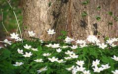 lauter Blumen (germancute) Tags: park flower green castle germany deutschland thringen pond thuringia blume wildflower teich schlos molsdorf germancute