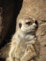 "Merkats_015 (Dancing with Ghosts Graphics) Tags: copyright cute animal mammal meerkat pups small gang mob clan mongoose angola sentry suricate burrows suricatta desert"" diurnal 2013 fawncolored herpestid iteroparous ""kalahari ""namib debbrawalker feliform dancingwghosts ""suricata suricatta"" ""botswana"" oraging siricata"" majoriae"" iona"""