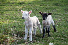 happy easter... [explored] (carol_malky) Tags: baby easter spring sheep explore lambs