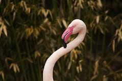 flexable flamingo (ucumari photography) Tags: ohio bird zoo march cincinnati flamingo 2014 specanimal ucumariphotography dsc6147