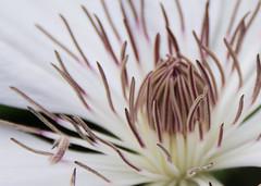 DSC_3070.jpg (Floater Ya-Ya (Jean McKenna)) Tags: flowers nature up close clematis churchvillenaturecenter inmyownbackyard spring2014