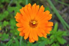 Art à Chnée (By Saib) Tags: orange flower fleur jaune spider spinne araña araignée d90 saib