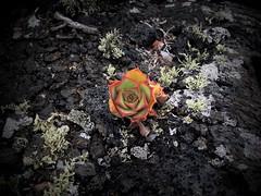 Bejeque de malpaís (pAuLoSkI-72) Tags: lava lanzarote canarias isla malpais bejeque malpaisdetomarén