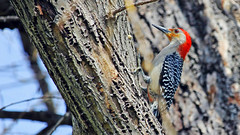 Red-bellied woodpecker (Bob's Digital Eye) Tags: bird birds canon woodpecker flickr outdoor wildlife depthoffield redbelliedwoodpecker woodpeckers recent flicker melanerpescarolinus t3i 2014 digitalbob canonefs55250mmf456isstm bobsdigitaleye