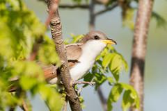 _53F2438 Yellow-billed Cuckoo (~ Michaela Sagatova ~) Tags: dundas yellowbilledcuckoo coccyzusamericanus birdphotography dvca michaelasagatova spring2014