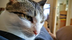 20150621_152512_HDR~2 (evenkolder) Tags: uk closeup cat g4 phone lg korean oxford shorthair oxfordshire nibbler koreanshorthair lgg4