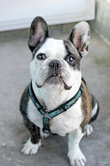8 (fifa foto) Tags: dog cute french funny sweet bulldog frenchie