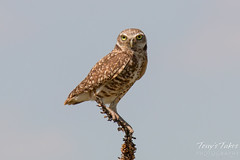 An adult Burrowing Owl keeps close watch