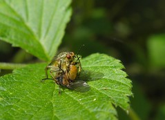 Kiss my xxx! ;-) (rockwolf) Tags: fly shropshire feeding prey sig predator diptera yellowdungfly scathophagastercoraria rockwolf shropshireinvertebrategroup kissmyxxx
