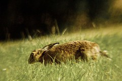 Digiscoping, Brown Hares. (clicka13) Tags: brown sahara hare scope wildlife stroud tyneside barr 2060x80